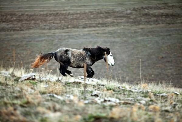 Άγρια άλογα, άλλοτε καλπάζοντας κι άλλοτε ακίνητα, είναι οι ωραιότερες εικόνες από το υψίπεδο της Σκαφιδιάς.