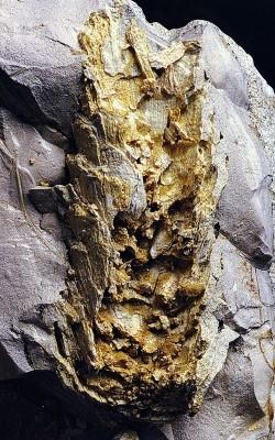 Απολιθωμένη κουκουνάρα πεύκης.