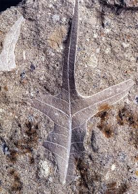 Αποτύπωμα απολιθωμένου φύλλου που ανήκει σε ένα σπάνιο είδος δένδρου.