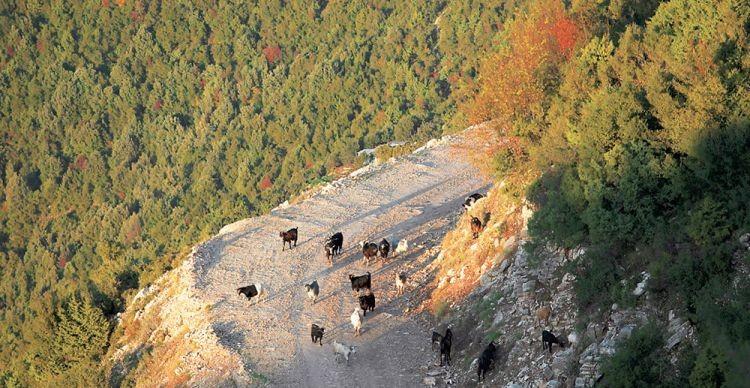 Ορεινή Ναυπακτία: Πλάτανος