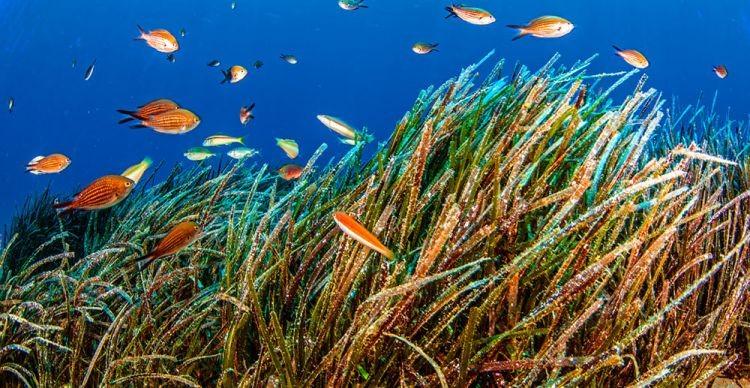 Ποσειδωνία (Posidonia oceanica). Τα θαλασσινά λιβάδια