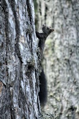 Χαριτωμένος σκίουρος.