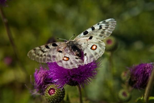 Πεταλούδα του γένους Parnassius Apollo.