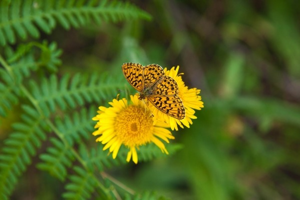 Πανέμορφη πεταλούδα του γένους Glossiana.