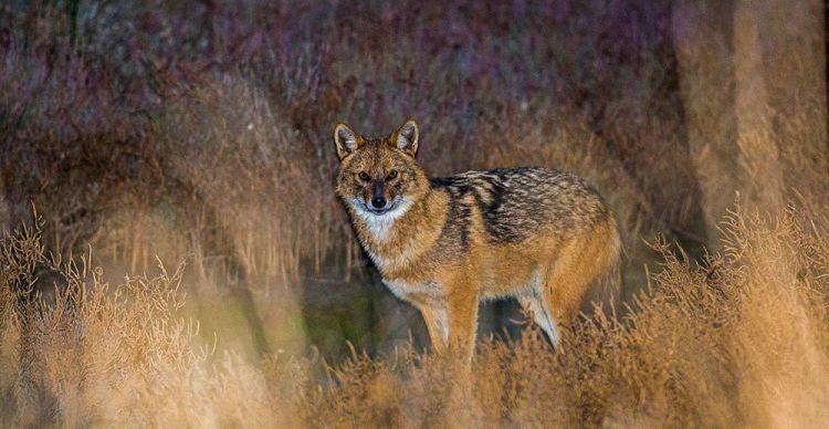 Τσακάλι, Canis aureus