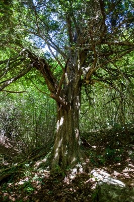Το σπάνιο αιωνόβιο δέντρο του Ίταμου