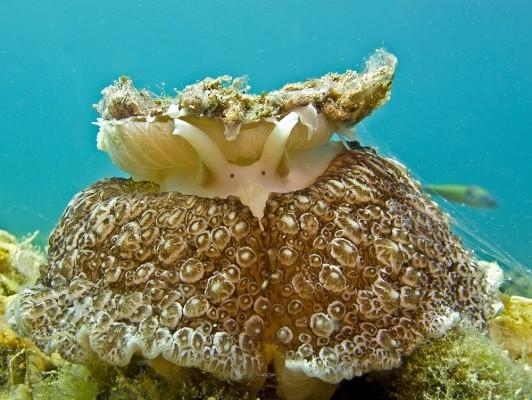 Το γυμνοβράγχιο Umbraculum umbraculum (Lightfoot, 1786) τρέφεται με σφουγγάρια, από τα οποία παίρνει το χρώμα του.