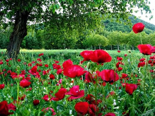 Αναρίθμητες κόκκινες παπαρούνες παρεμβάλλονται την Άνοιξη στα πράσινα λιβάδια του Φενεού.