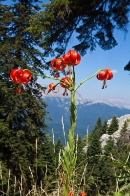 Γοητευτικοί σύντροφοι στη διαδρομή είναι τα Λείρια τα κρινάκια που ανήκουν στο γένος Lilium.