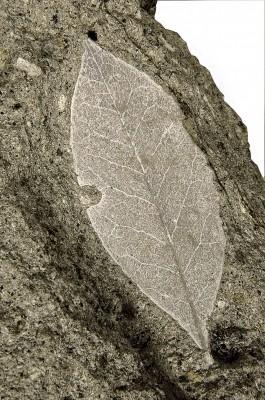 Αποτύπωμα φύλλου δάφνης.