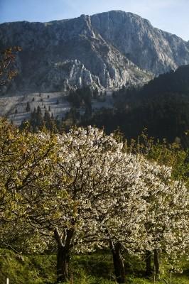 Ορεινές ανθισμένες κερασιές πάνω απο το Μετόχι