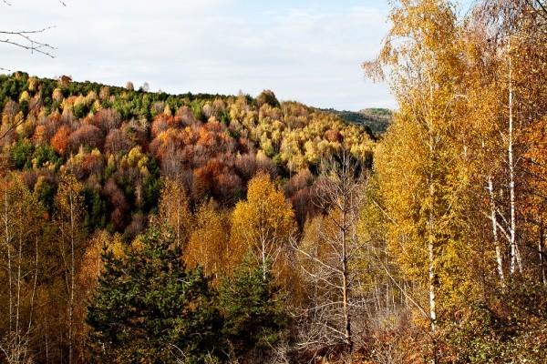 Φθινόπωρο στο Φρακτό. Σε πρώτο πλάνο κυριαρχούν χρυσοκίτρινες σημύδες.