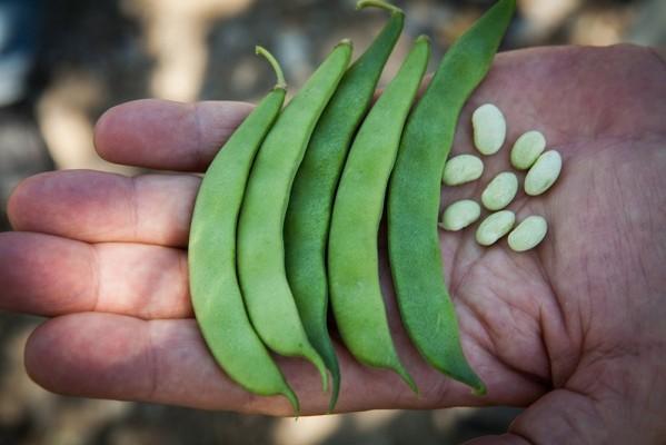 Καρποί Βανίλιας πράσινοι