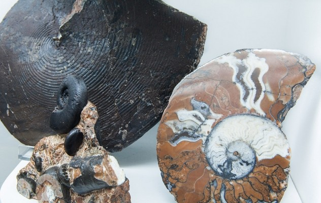 Προθήκη αμμωνιτών, Μέσης κρητιδικής εποχής
