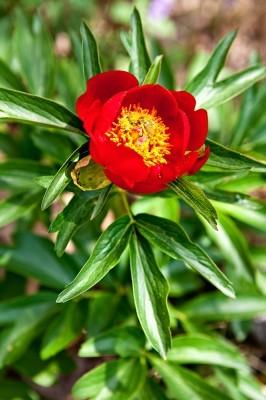 Paeonia peregrina, γνωστή στους κατοίκους του Άβαντα ως μπουμπούζα