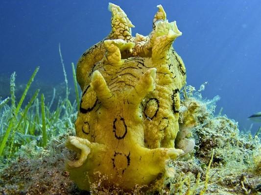 Η Aplysia dactylomela Rang, 1828, είναι ένα είδος λαγoύ της θάλασσας (Sea hare) που εμφανίσθηκε στην Μεσόγειο το 2002.