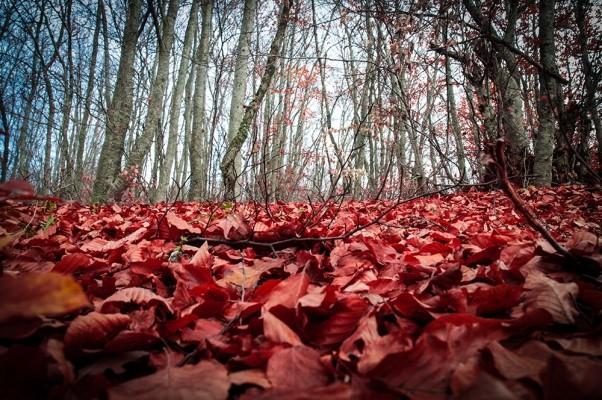 Το δάσος της οξιάς προς τη χαράδρα Μάνκοβιτς.