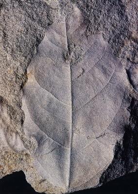 Αποτύπωμα απολιθωμένου φύλλου λεύκης.