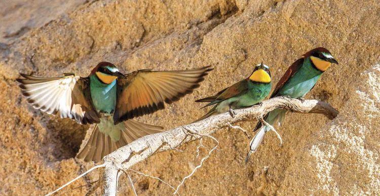 Eξωτικά πουλιά:  Μελισσοφάγος - Τσαλαπετεινός - Χαλκοκουρούνα