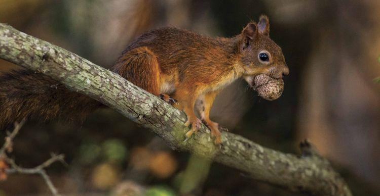 Σκίουρος - Sciurus vulgaris