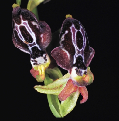 OPHRYS CRE1