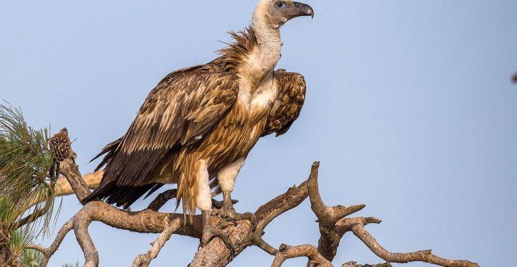 Όρνιο, Cyps Fulvus, Griffon Vulture